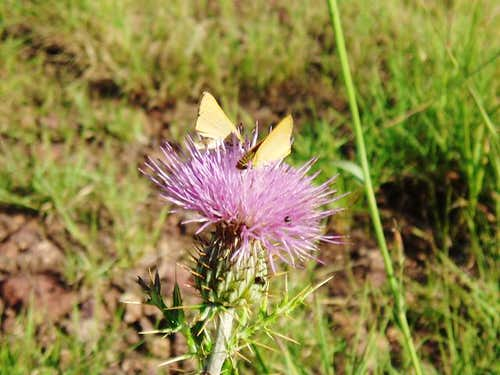 Buterflies & Thistle