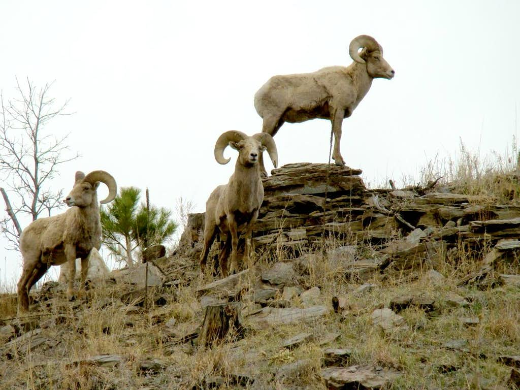 Bighorn sheep in the area