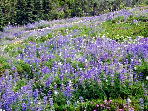 Lots a Lupine