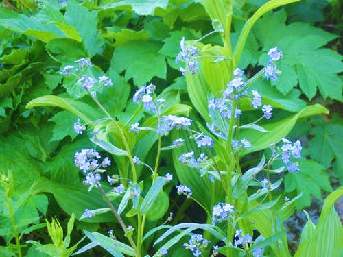 alpine bluebell