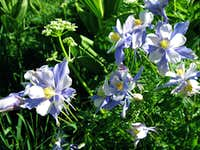 Many Columbines and