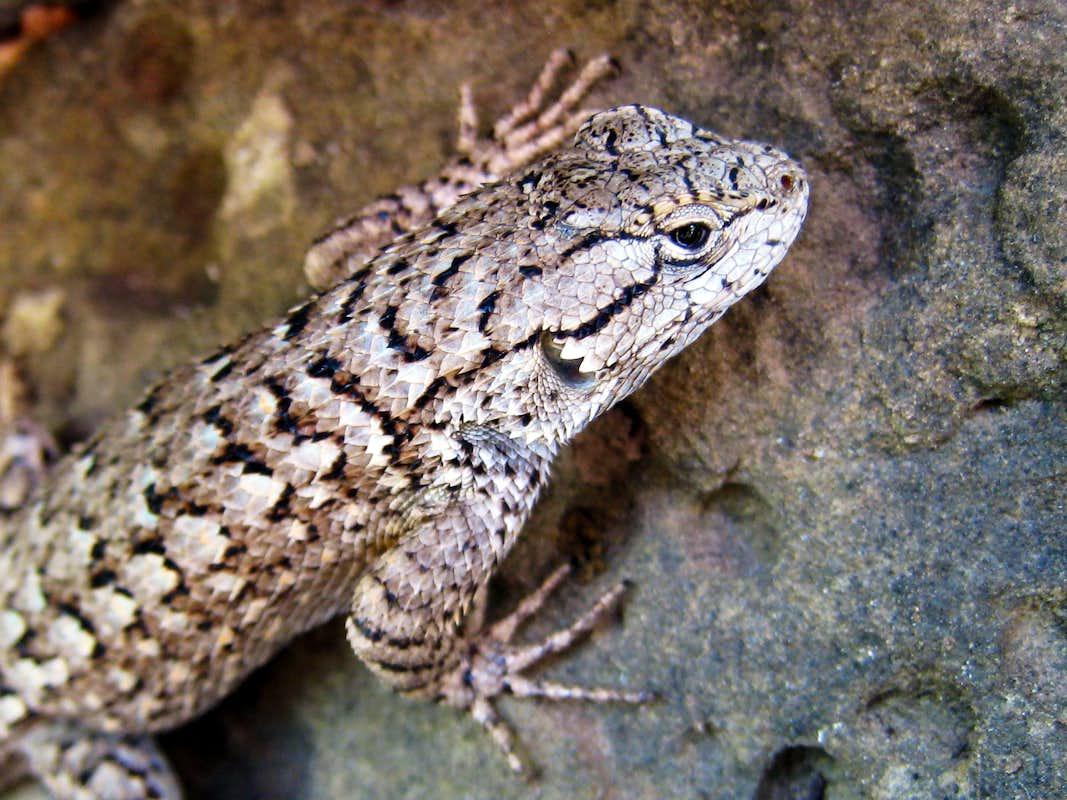 Western Fence Lizard : Photos, Diagrams & Topos : SummitPost