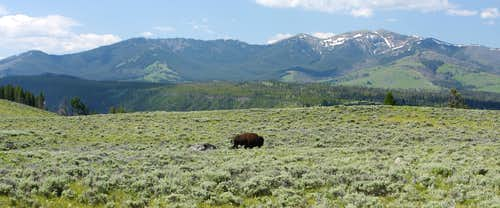 Bison and Mt Washburn