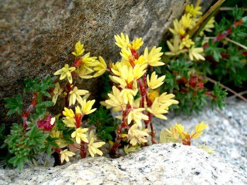 Wild flowers at Baltoro Glacier