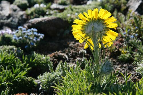 Alpine Sunflower-- Back-side View