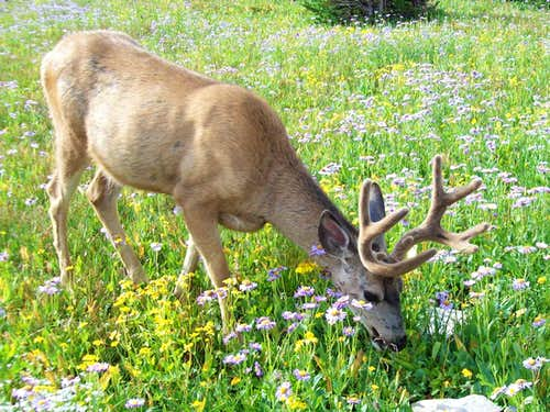 Mammals Of Glacier National Park