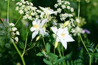 White Columbine Trio