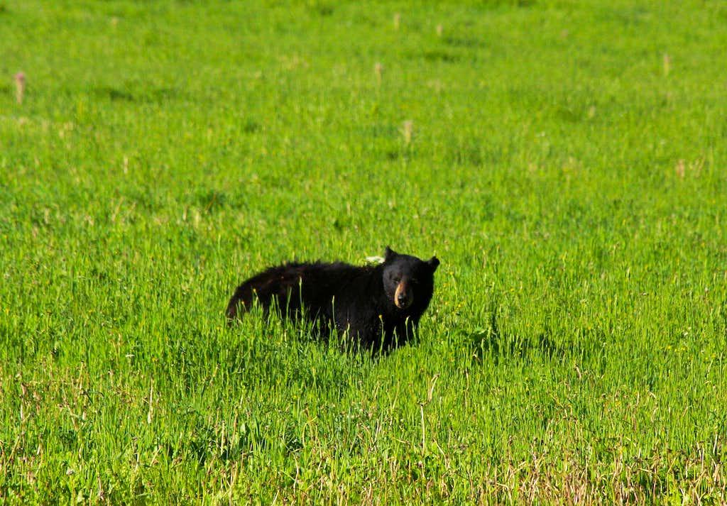 Soda Butte Creek Black Bear