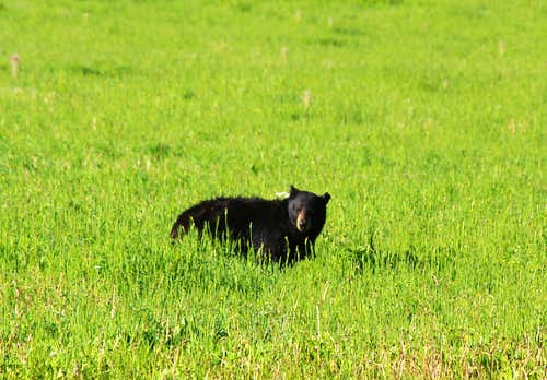 Soda Butte Creek Black Bear