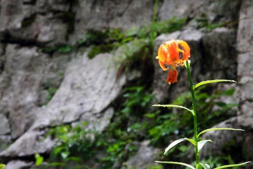 Lilium at  Vihoraski trail