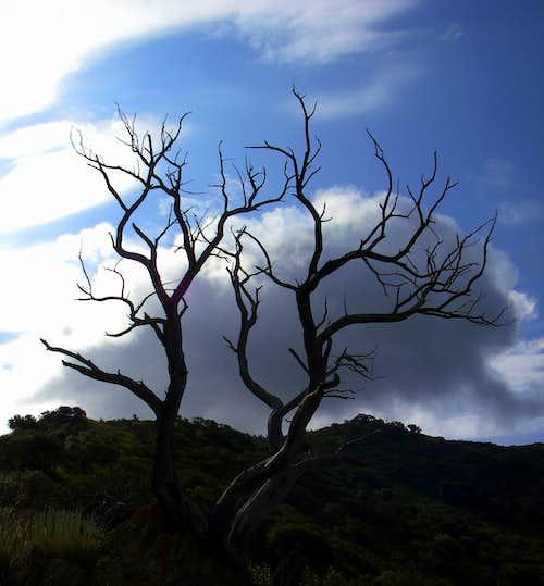 Grandeur Tree