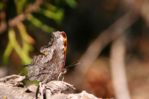 Comma (wings closed)