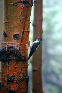 Hairy Woodpecker Feeding Chick