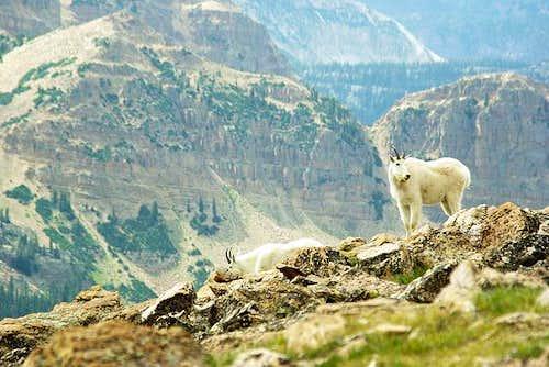 Bald Mtn Goats