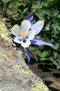 Blue Columbine on Mount Lady Washington