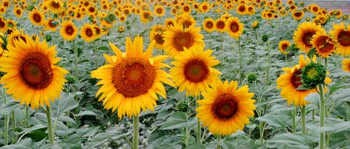 گلهای آفتاب گردان