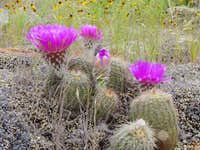Flowering cacti in the Charon...