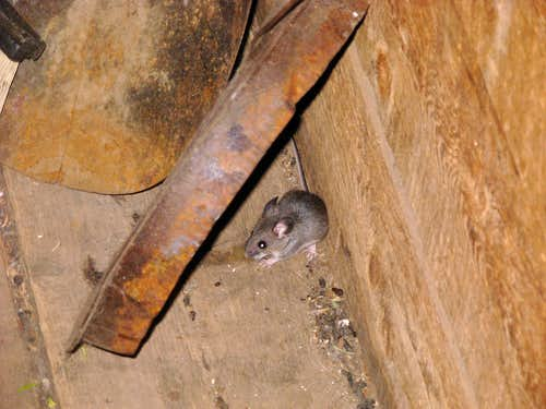 A Mouse Named  Evel Knievel