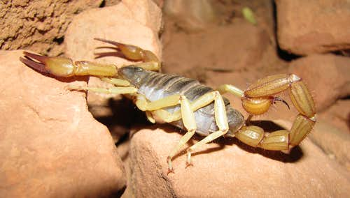 Scorpion in Grand Canyon