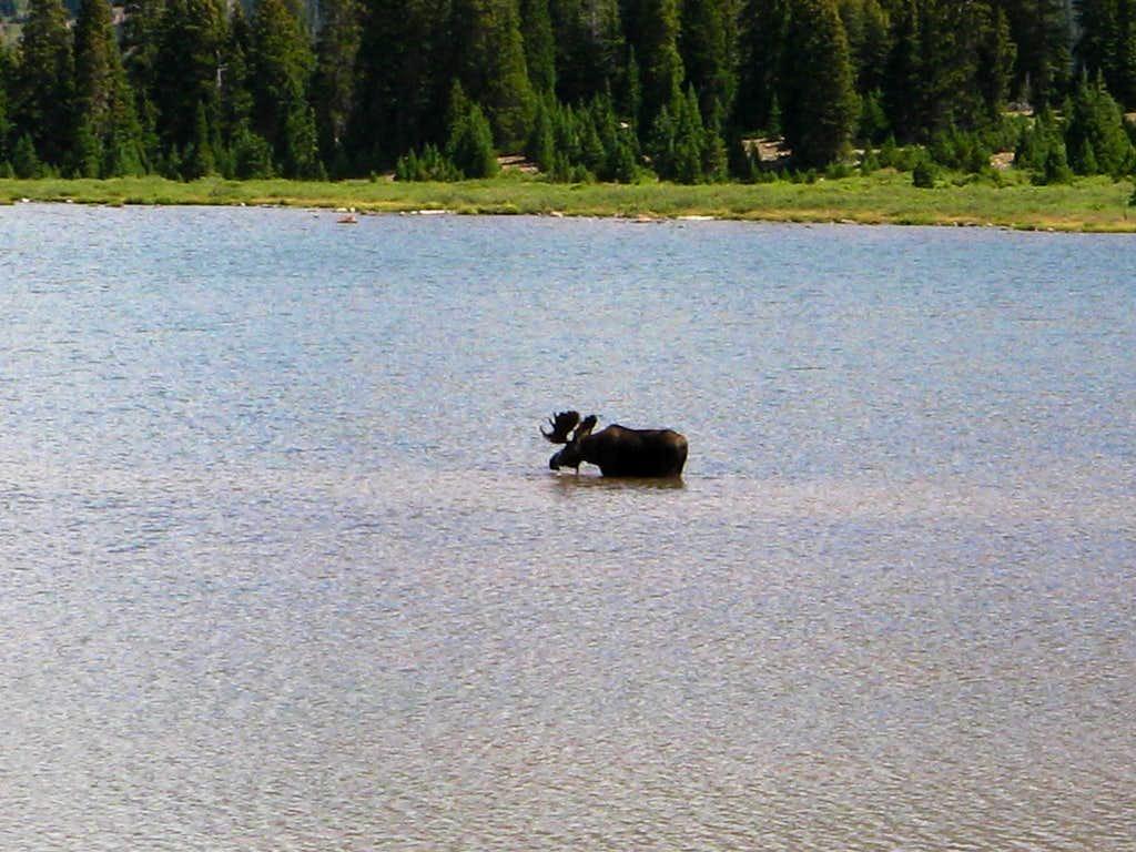 Moose in Henry's Fork Lake