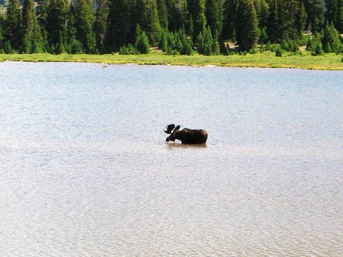 Moose in Henry\'s Fork Lake