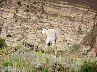 Ben Lomond Mountain Goats