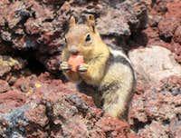 Golden-Mantled Groud Squirrel