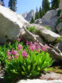 Parry's Primrose and Lone Peak