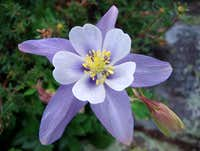 Columbine On Kit Carson Peak