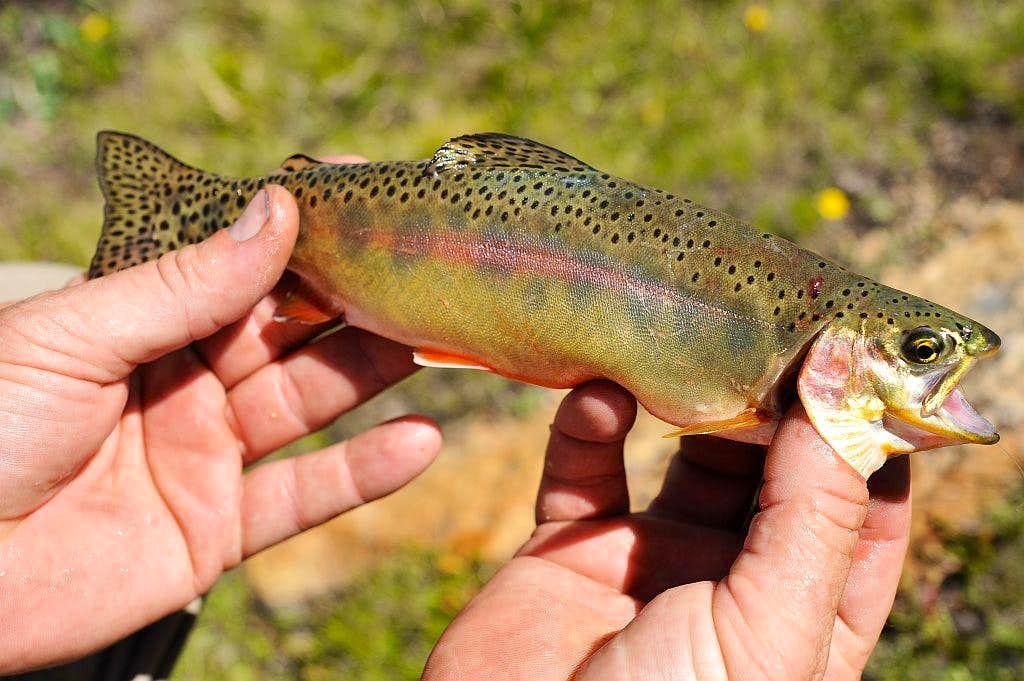 california golden trout 2