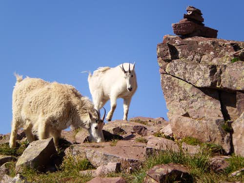 Goats at the base of the first Gulley