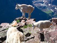 Goat family near the grassy gully