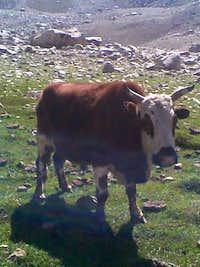 Summer grazing at Saraghrar BC