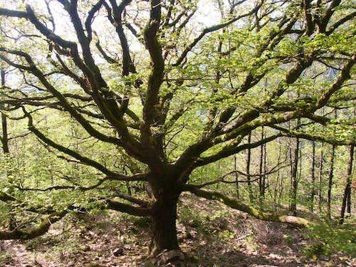 Ballon d'Alsace - Huge oak on...