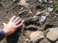 Small grizzly tracks