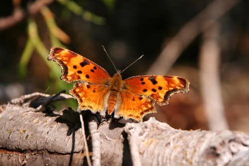 Comma (spread wings)