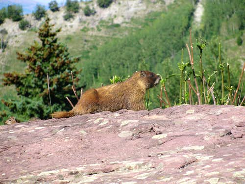 Marmot on Capitol Ditch Trail