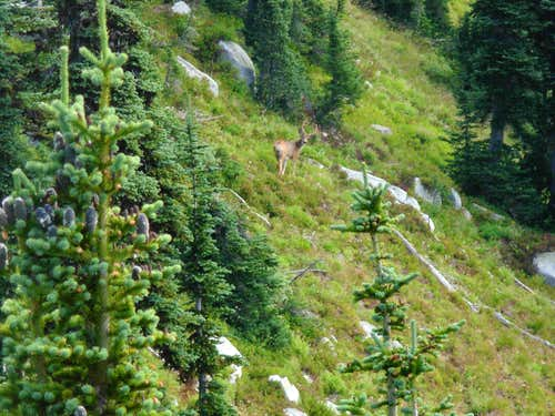 Buck Seen On Mac Peak