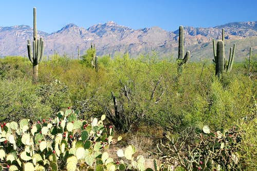 Santa Catalinas from Saguaro East