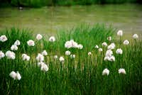 Eriophorum (Cotton-grass)