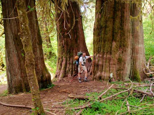 Rainforest Cedars