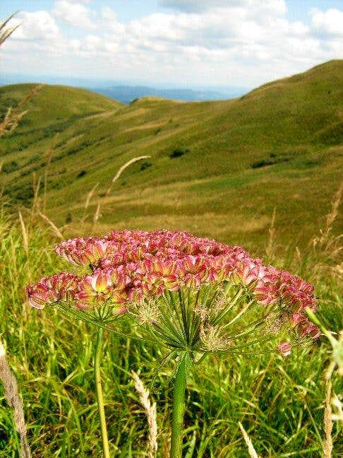 Wild Angelica and Mount Wolowy Garb