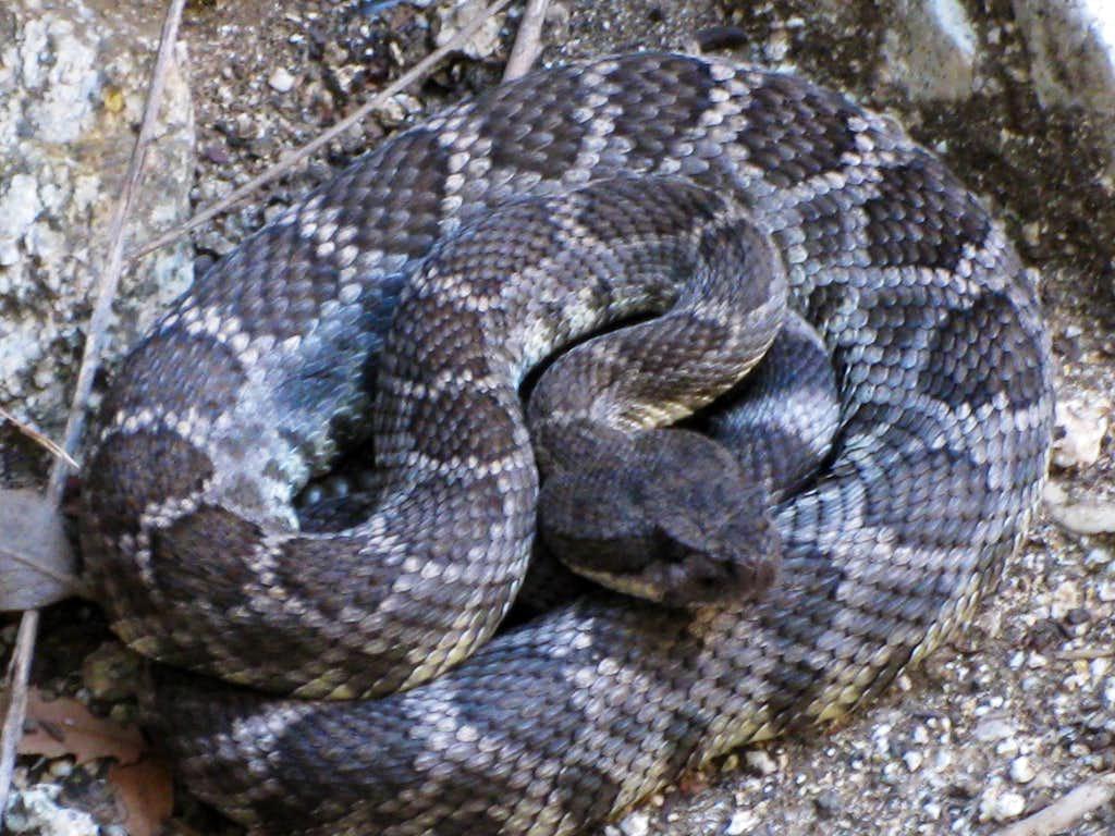 Rattlesnake Seen on Canyoneering Outing