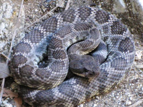Rattlesnake Seen on Canyoneering Outing