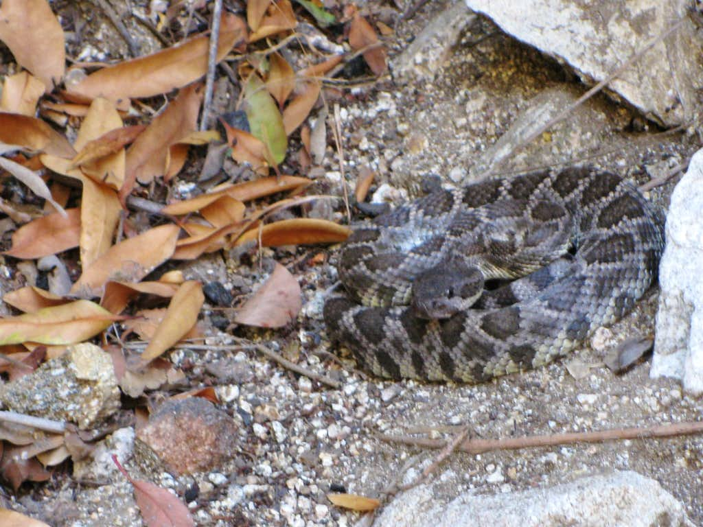 Rattlesnake in Little Santa Anita Canyon