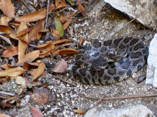 Rattlesnake in Little Santa Anita Canyon