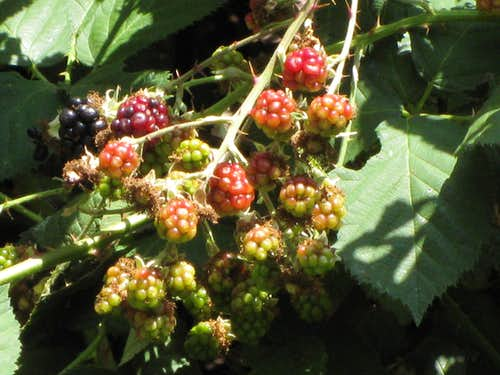 Blackberry Patch in Little Santa Anita Canyon