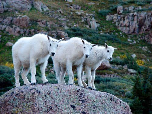 Baby Goat Trio