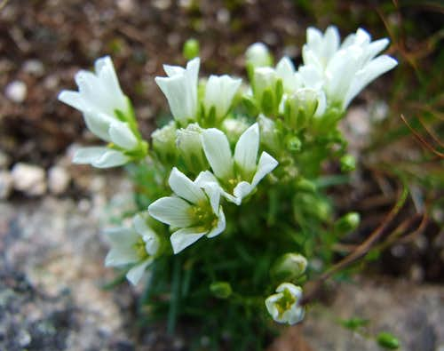 Mountain Sandwort On Hamlin Peak