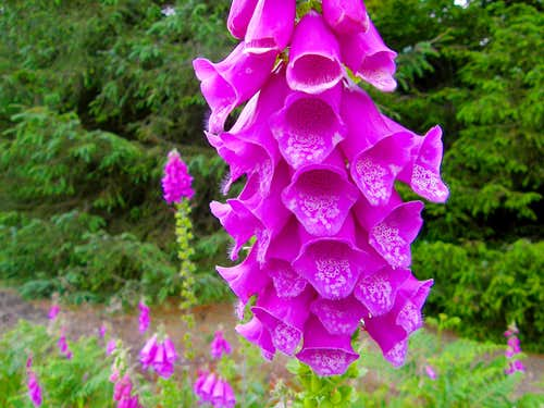 Wild Foxgloves - Clun Forest